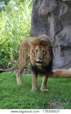 A beautiful look at a prowling lion standing in the grass.