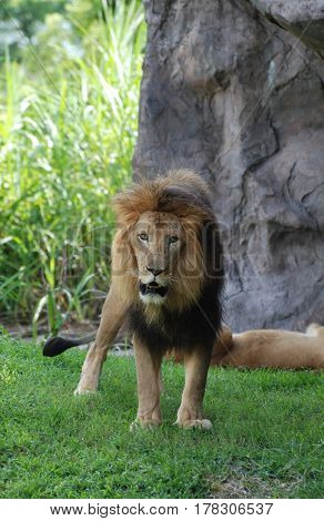 Lion prowling around on a warm summer's day.