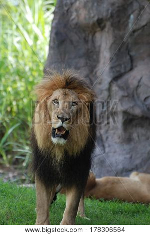 Lion prowling with his mouth slightly open in a growl.