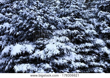 Close-up of snow covered pine trees on a December day in Wisconsin.