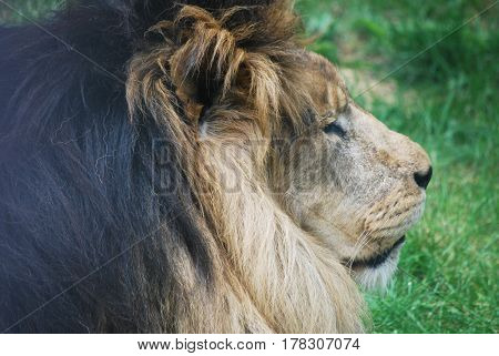 Male lion with a thick black fur mane sleeping.