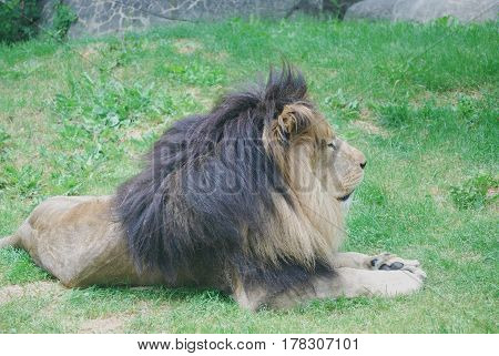 Gorgeous lion resting on a pad of green grass.