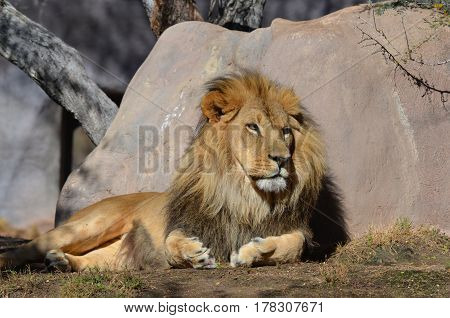 Lion resting against a rock in the warm sun light.