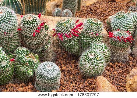 Closeup To Group Of Mammillaria Prolifera Hybrids Cactus/ Cactaceae, Succulent And Arid Plant