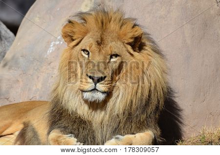 Gorgeous face of a male lion with a very thick fur mane.