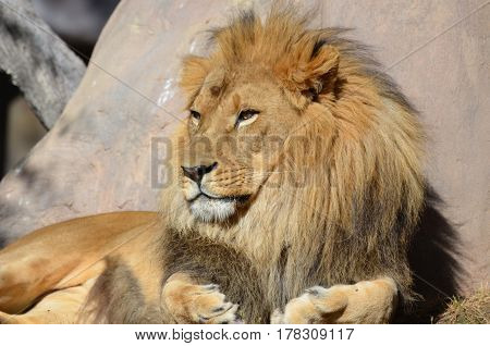 Gorgeous golden African lion soaking up the summer sun.