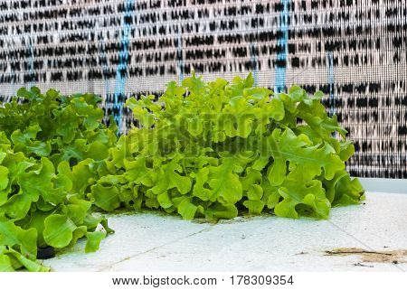 Closeup to Organic Fresh Green Lettuce Vegetable/ Lactuca Sativa from Hydroponics Farm