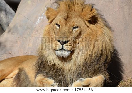 African lion dozing in the warm sunshine on a summer's day.
