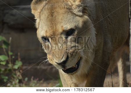 Growling and snarling lioness with her teeth showing.
