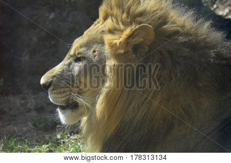 An up close look at the profile of a male lion.