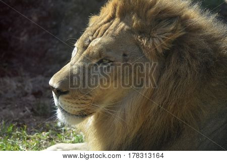 Beautiful relaxing African lion on a warm summer day.