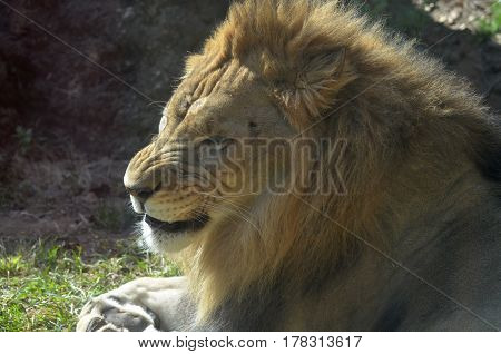 Snarling and growling lion laying down in grass