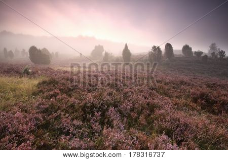 dramatic foggy sunrise over flowering heather in summer