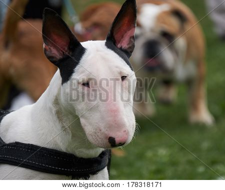 cute bull terrier dog rest at park