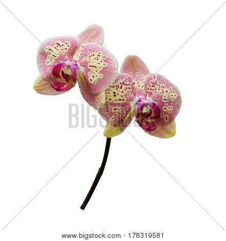 Pink yellow orchids (Latin Orchidaceae). Isolated on a white background
