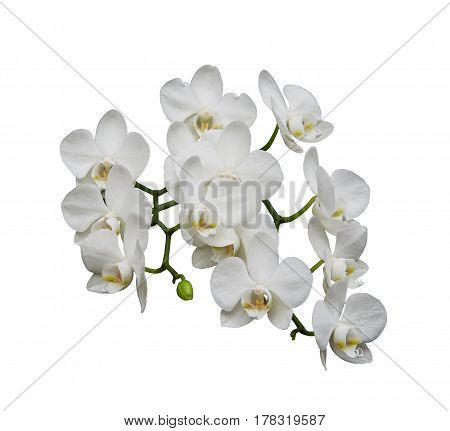White orchids (Latin Orchidaceae). Isolated on a white background