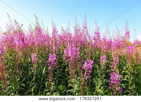Willowherb in summer day on the background of blue sky