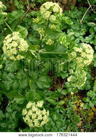 Alexandrium, cow parsley or black loveage, coastal plants