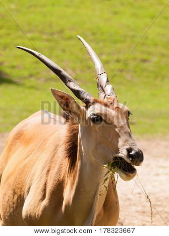 Taurotragus oryx - Common eland the slowliest antelope in the world