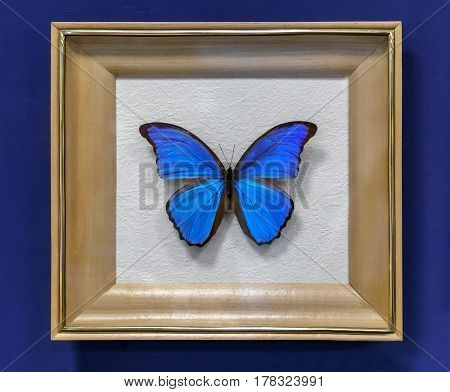 The instance of a large tropical butterfly Morpho didius wingspan up to 150mm. Presented in a glazed frame.
