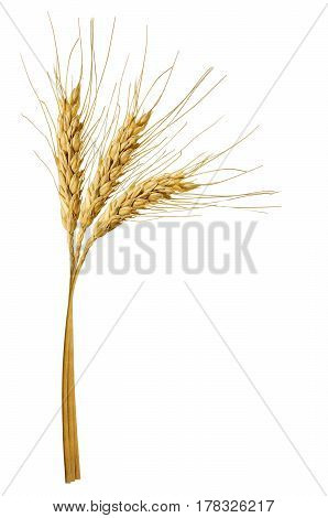 three spikelets of wheat isolated on white background. Clipping path