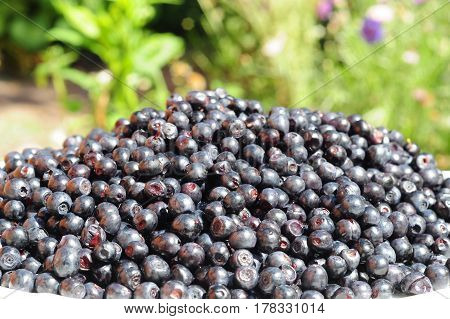 Blueberry commonly called bilberry whortleberry huckleberry or European blueberry.