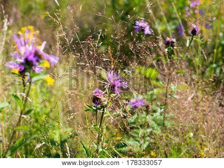 Knapweed (cornflower) flowers (Centaurea jacea) in the grass in a summer field.