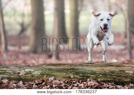 labrador retriever dog jumps over a tree in forest - abstract background with copy space
