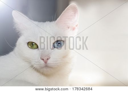 Beautiful snow-white pedigreed cat with amazing different multi-colored eyes on a sunny day