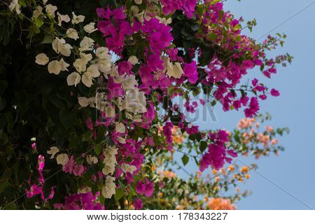 Blossoming Bougainvillea Flowers.