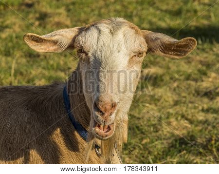 Bleating goat with blue collar on grass in enclosure. Goat`s mouth is open and looks like smile.  Single adult brown goat on the green grass in summer day. Portrait of a goat - goat head - on blurred green background. Pastoral views and rural animal grazi