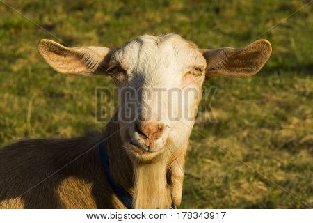 Goat with blue collar on grass in enclosure. Single adult brown goat on the green grass in summer day. Portrait of a goat - goat head - on blurred green background. Pastoral views and rural animal grazing. Goat`s milk is good for health.