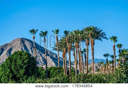 A perfect blue sky palm trees and the San Jacinto Mountains of Palm Springs California.