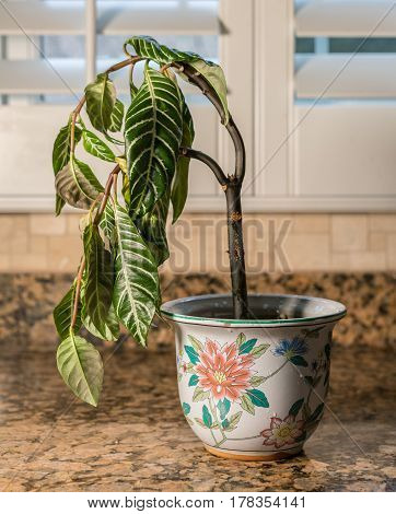Drooping house plant in kitchen showing lack of care and watering as illustration of shame, melancholy or depression