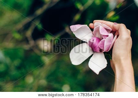 Magnolia Pink Flower In Woman Hand In Sunny Green Park. Tender Beauty Of Blooming  In Botanical Gard