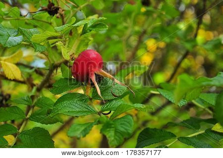 Dogrose, Rosehip Berry, Hip, Cankerberry In Green Leaves