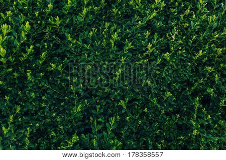 Green Branches Of Boxwood In Green Park Background. Buxus Bush In Botanical Garden In Spring. Space