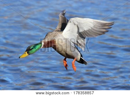 A male mallard duck flying in to land on a lake.