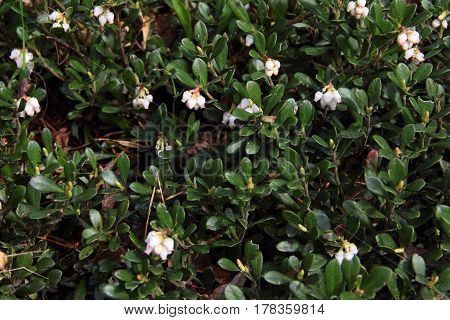 Lingonberry (cowberry) in bloom natural background closeup