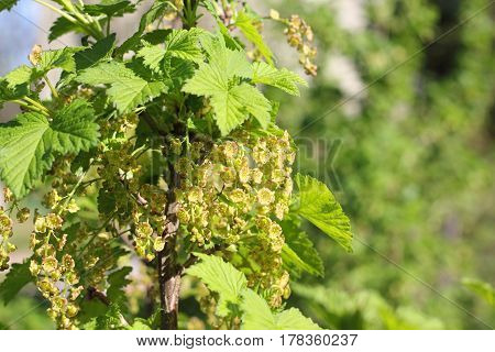 Blooming Red Currant