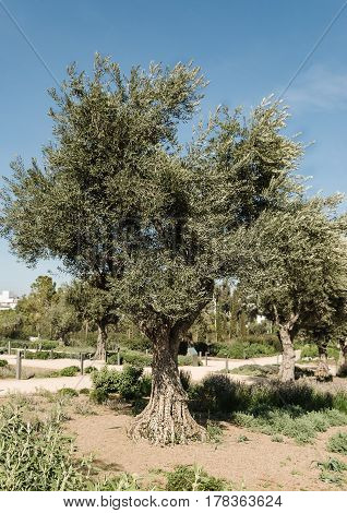 olive tree in summer on the blue sky background