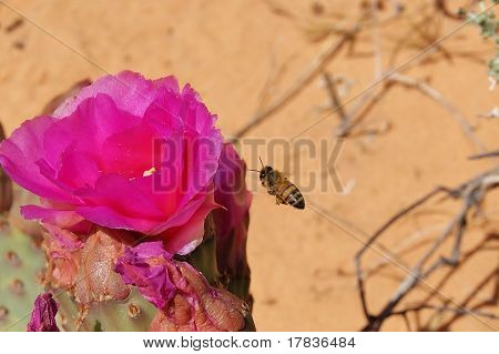 Bee Near Pink Bloom of Beavertail Cactus poster