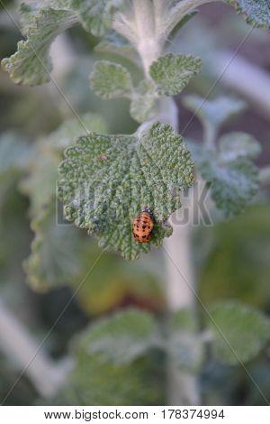 Orange beetle with black spots sitting on a leaf
