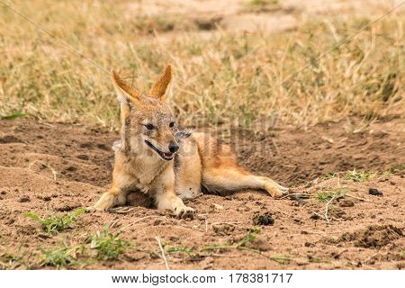 Black Backed or Silver Backed Jackal on the sand