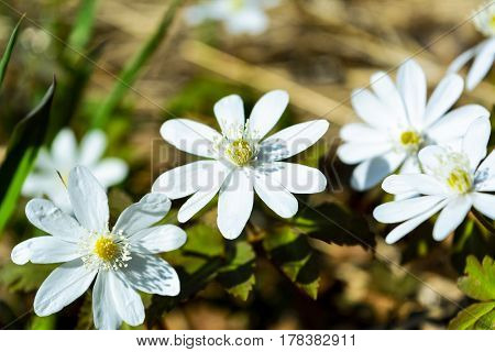 Blooming Rue Anemone close up. Wild spring white flowers.