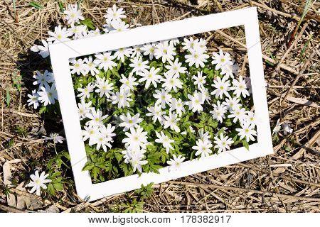 Blooming Anemone Meadow-rue flowers in frame. Wild spring white flowers.