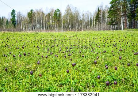 Blooming wild Fritillaria flowers in forest edge. Wild checkered lily flowers.