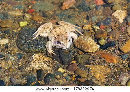 Wood frog sitting on stony bottom of river. Amphibian awake at early spring.