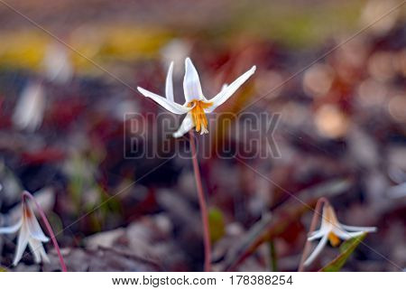 A speckling of white trout lilies, Erythronium albidum, brighten the forest floor in early spring in Cincinnati, Ohio