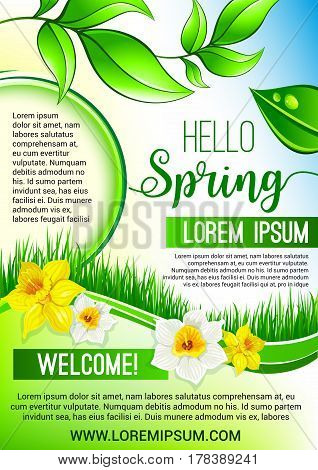 Hello Spring vector poster for springtime holidays. Design of dew drops on green leaves, grass and blooming spring flowers narcissus or daffodils. Flat template for greetings